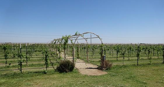 CapRock Winery vineyard
