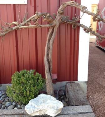 Sangiovese vine from Sagmor Vineyard