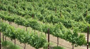 Texas Vineyard