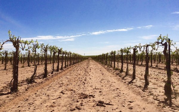 Newsom Vineyard in the High Plains
