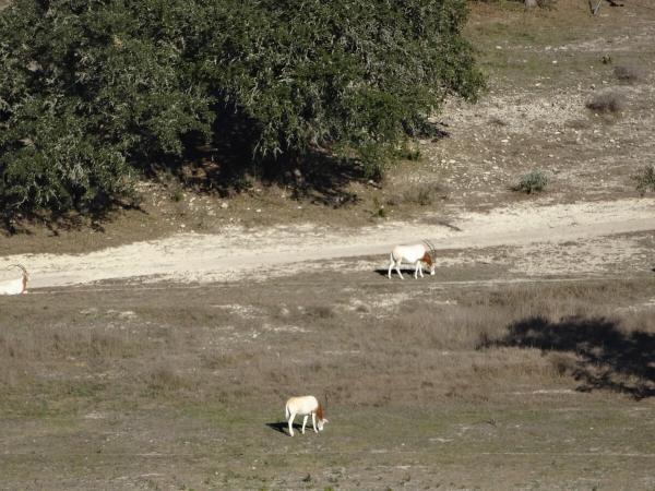 Scimitar Hill Vineyards oryx