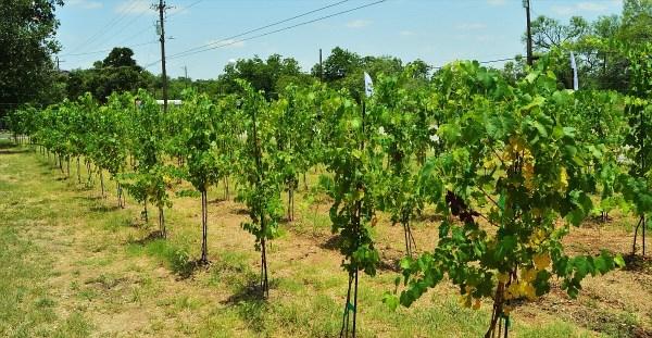 290 Vinery Tannat Vineyard