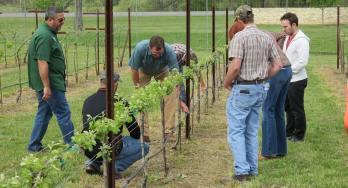 Texas Tech Vineyard