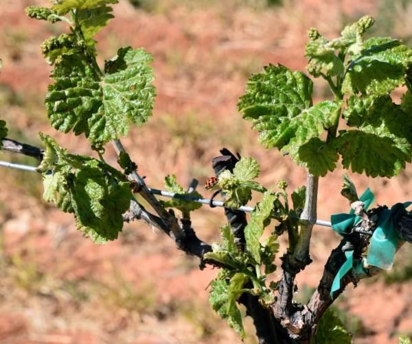 Ladybug in grape vines