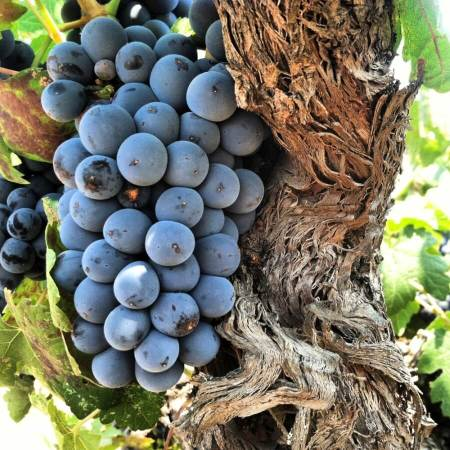 Mourvedre grapes photo credit Hardy Wallace of Dirty & Rowdy