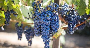 Perissos vineyard grapes