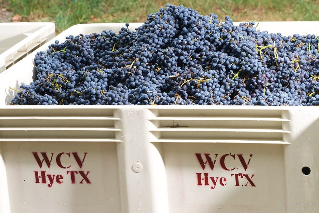 Malbec, hand harvested and ready for Crush, at William Chris Vineyards