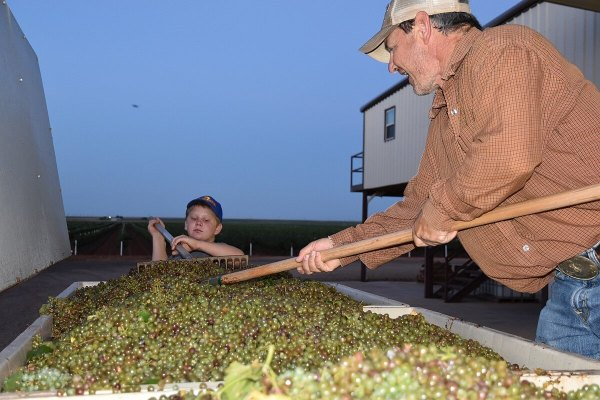 Raking the grapes in the bins at Diamante Doble Vineyard