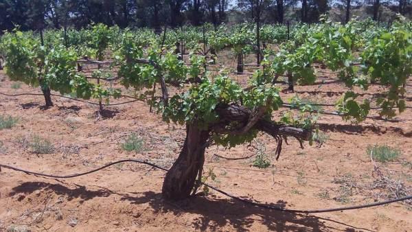 Chenin Blanc vines