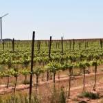 Texas High Plains Vineyards, Part One, August 2018