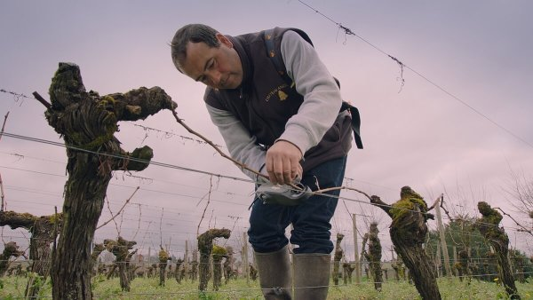 Angelus - Binding in the vineyard