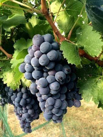 Carignan grapes nearing harvest ripeness in Kuhlman Cellars estate vineyard – Texas Hill Country