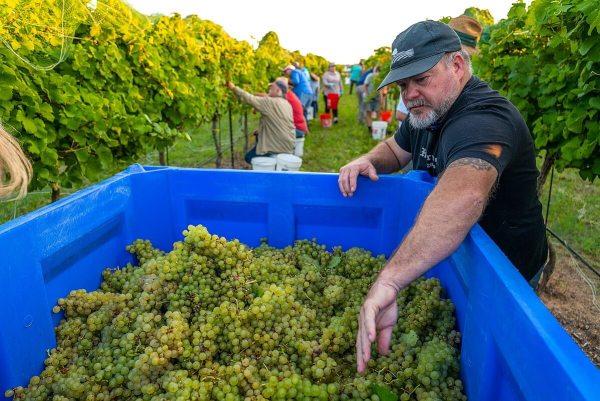 Kerrville Hills Winery with John Rivenburgh 2021 Semillon Harvest