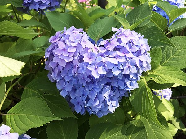 30分かけて、やっと見つけた「ハート型」の紫陽花。貴重な幸運の紫陽花なのです。