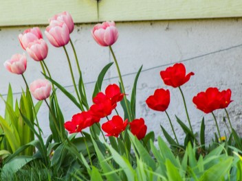 Tulips-&-Roses-(Optimized)