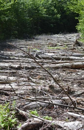Birch tree grave.