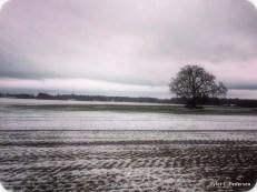 A standout oak in its field