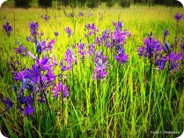 Purple fields of camas