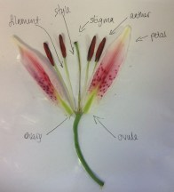 Image showing a flower dissection.
