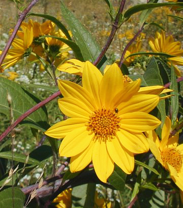 Helianthus grosseserratus