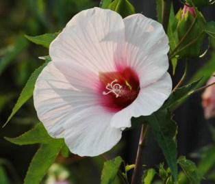 Hibiscus laevis, Hibiscus militaris
