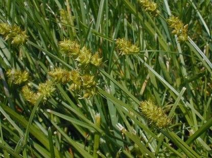 Carex cephalophora