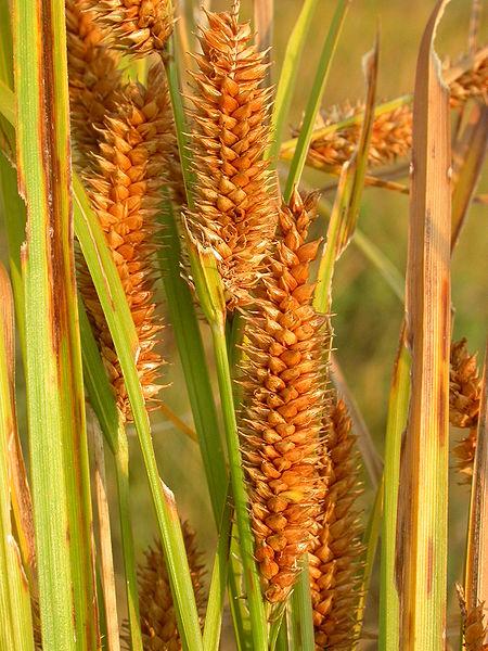 Carex utriculata