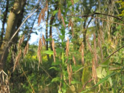 Bromus pubescens (Bromus purgans)