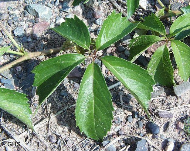 Parthenocissus quiquefolia