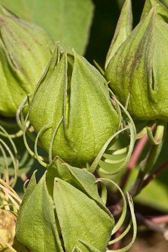 Hibiscus lasiocarpus