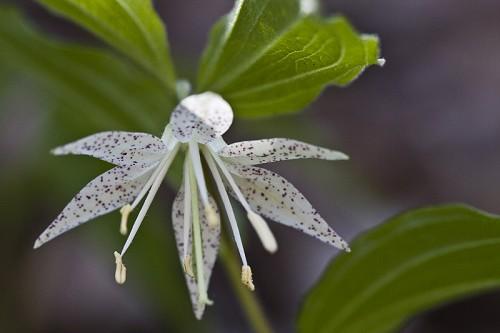 Prosartes maculata