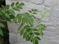 Sambucus nigra canadensis