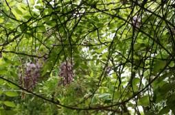 Wisteria fruitescens