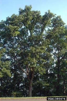 Quercus montana