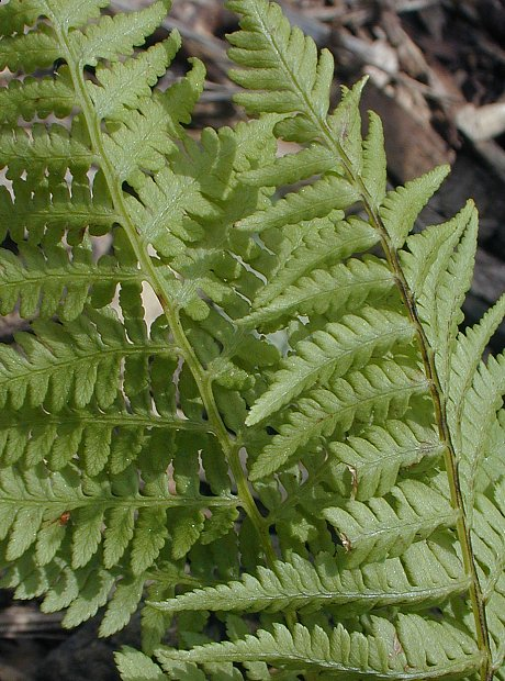 Dennstaedtia punctilobula