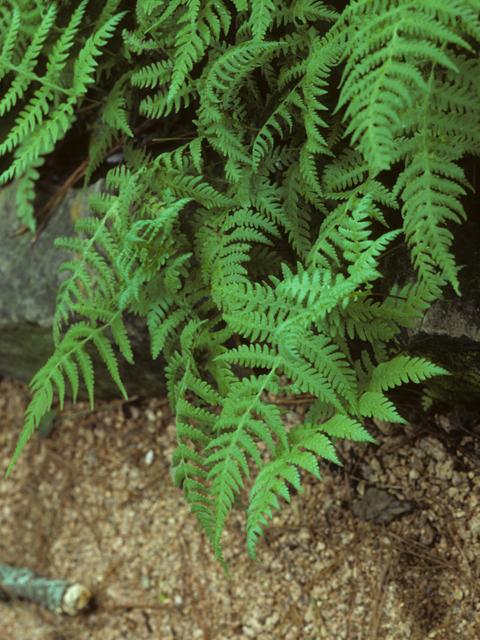 Phegopteris hexagonoptera