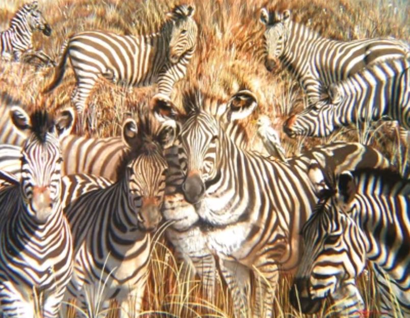 zebras and a lion personality test