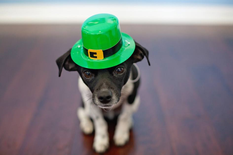 Cute Chihuahua Puppy Wallpaper 7 Funny St Patrick S Day Quotes To Get You In The Spirit