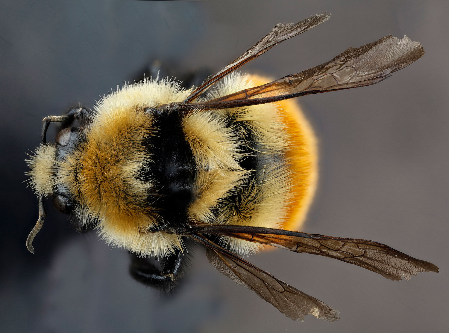 Types of Bees: Bumble Bee, Bombus huntii