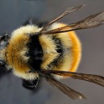 types of bees bumble bee