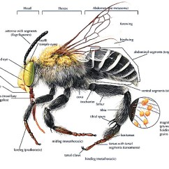 House Fly Anatomy Diagram Westinghouse Wall Oven Wiring Bee Types Of Bees