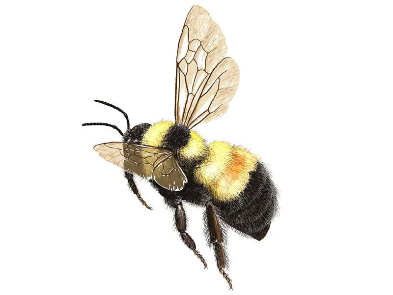 bumble-bee-bombus-affinis