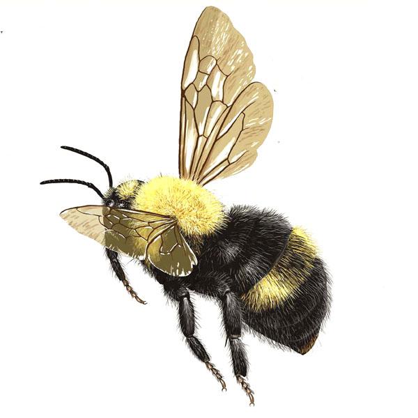 bumble-bee-bombus-citrinus