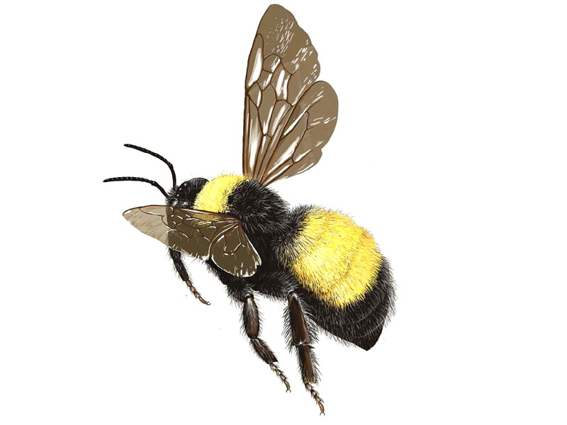 Types of Bumble Bees in the Eastern United States - Types Of Bees