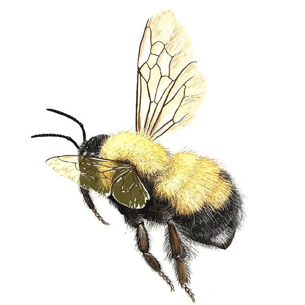 bumble-bee-bombus-perplexus