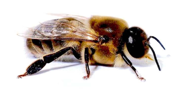 types of bees drones bee