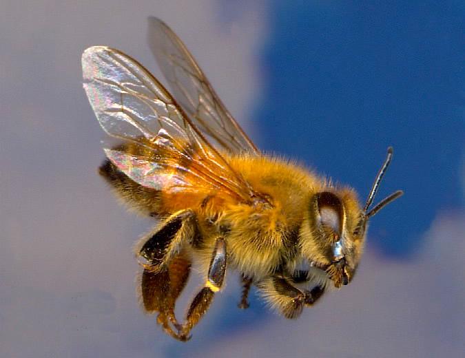 types of bees killer bee africanized honey beea