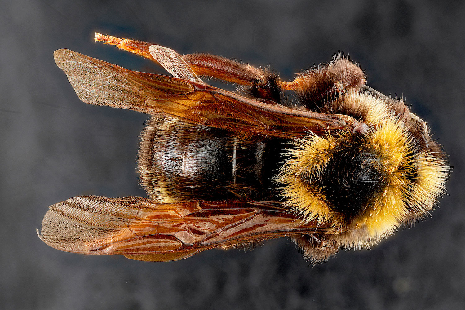 Types of Bees: Bumble Bee, Bombus variabilis