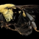 types of bees bumble bees