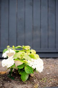white hydrangea black fence